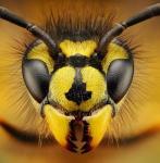 Wasp-Osa-by-Dusan-Beno_15600_613