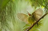 smithsonian-photo-contest-naturalworld-bird-spiderhunter-wings-bjorn-olesen