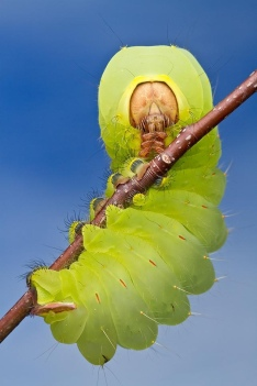 smithsonian-photo-contest-naturalworld-catapillar-green-macro-colin-hutton