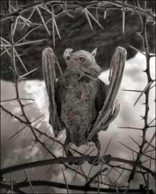 -Nick-Brandt-Calcified-Bat-deadly-lake-in-tanzania-calcifies-animals--02Nick+Brandt