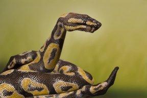Python-Royal-510x340